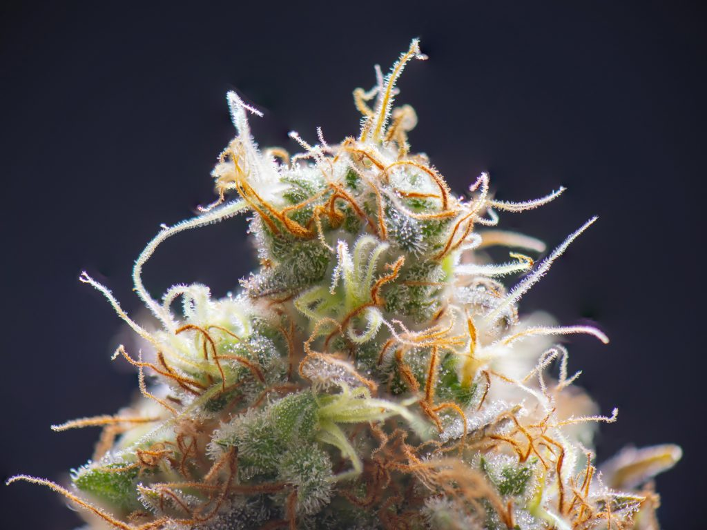 The cannabis plant lends its therapeutic properties to its cannabinoid and terpene content.
